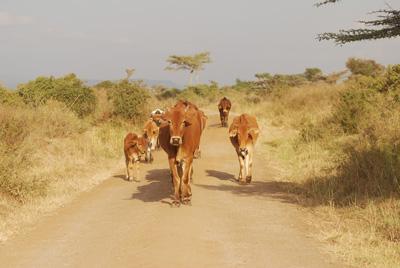 cows in park.jpg
