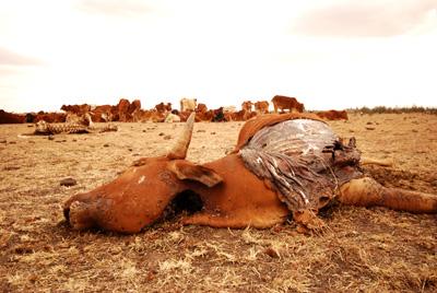 dead cow in Kitengela.jpg