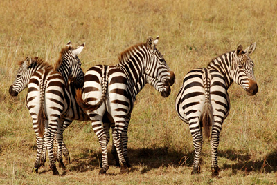 zebra butts.jpg