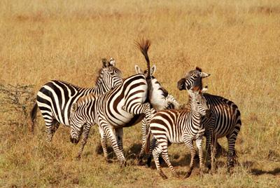 zebra kick.jpg