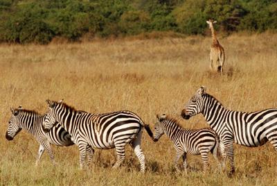zebra sides.jpg