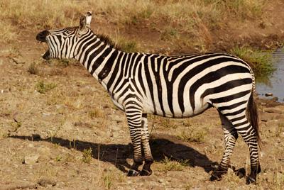 zebra yawn.jpg